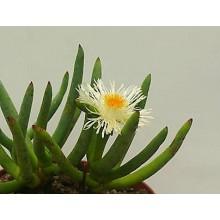 Cylindrophyllum tugwelliae