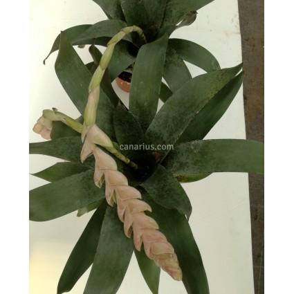 Vriesea pardalina 'Lacy'