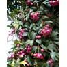 Syzygium oleosum - Lilli Pilli