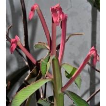Monadenium hybrid
