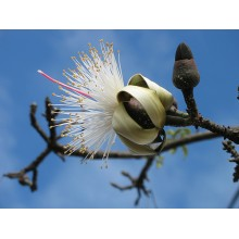 "Pseudobombax ellipticum ""white flower"""