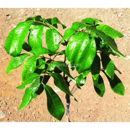 Dimocarpus longan 'Dang'