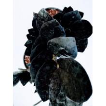 Zamioculcas 'Raven'-Black