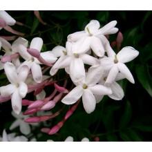 Jasminum sambac - Arabian Jasmine