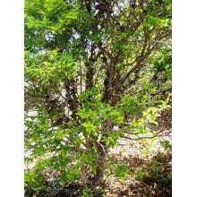 Myrciaria cauliflora - Jaboticaba - LARGE