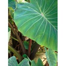 Colocasia esculenta 'Pololu'