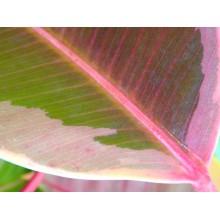 Ficus elastica 'Variegata'