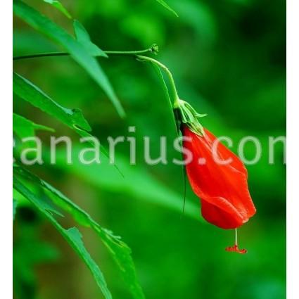 Malvaviscus arboreus mexicanus