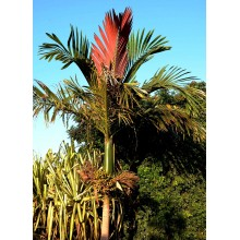 Chambeyronia macrocarpa - Red Leaf Palm- Large-
