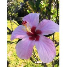 Hibiscus genevii