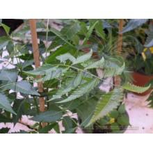 Azadirachta indica - Neem Tree - Geopfropft