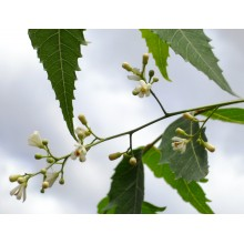 Azadirachta indica - Neem Tree - Injertado