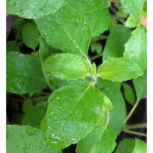 Ocimum tenuiflorum - Tulasi, Holy basil