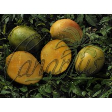 Mangifera cv. Gomera 1 - LARGE - Hardy Canarian Mango