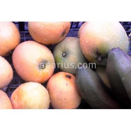 Mangifera 'Gomera 1' - LARGE - Hardy Canarian Mango