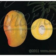 Mangifera cv. Gomera 3 - SMALL - Hardy Canarian Mango