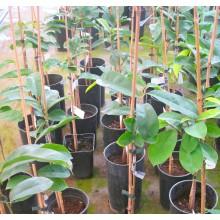 Annona muricata -  Soursop, Guanabana, Graviola -  GEPFROPFT