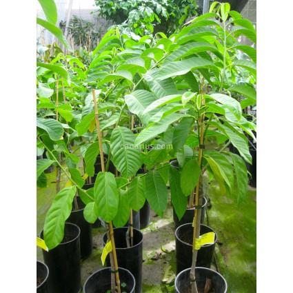 Annona reticulata - Fruto Rojo