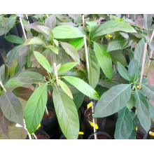 Persea cv. Hass - Aguacate, Avocado