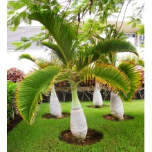 Hyophorbe lagenicaulis LARGE - Bottle Palm