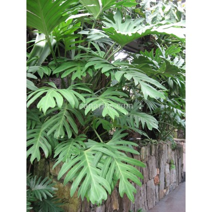 Philodendron pinnatifidum- LARGE