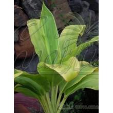 Cordyline fruticosa 'Haole Girl'