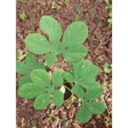 Adenia glauca - SMALL