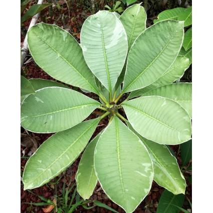 Plumeria 'Silver leaf'