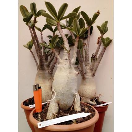 Adenium arabicum - Large