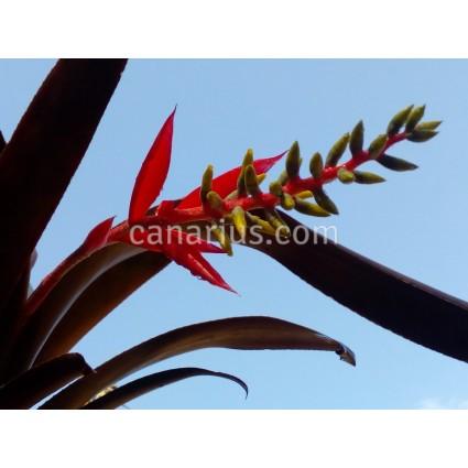 Aechmea nudicaulis 'Red'