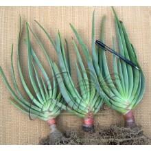 Kumara plicatilis (Aloe plicatilis)