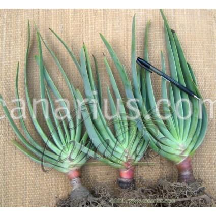 Aloe plicatilis (Kumara plicatilis)
