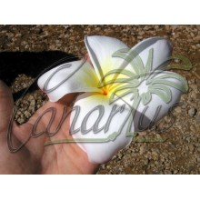 Plumeria - Seedlings of Daisy Wilcox - Pack of 2 Plants