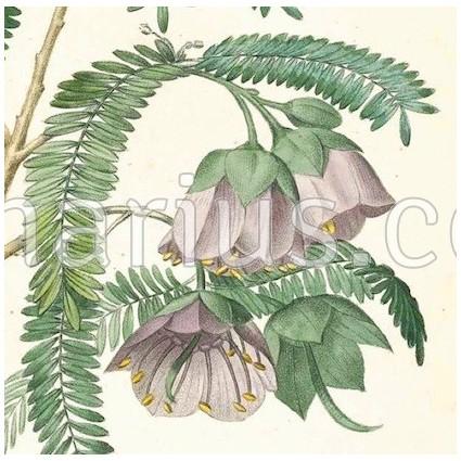 Caadia purpurea