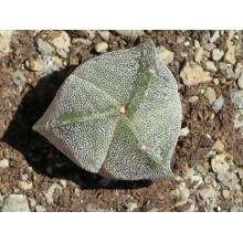 Astrophytum myriostigma tricostatum