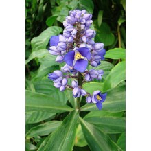 Dichorisandra thyrstiflora