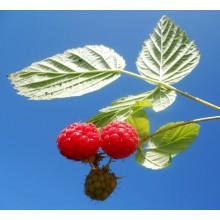 Rubus idaeus 'Mailing Promise' - Raspberry