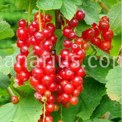 Ribes rubrum 'Jonkheer Van Tets' - Redcurrant
