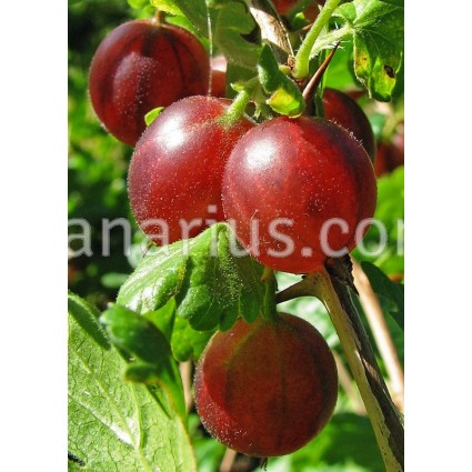 Ribes uva-crispa 'Captivator' - Gooseberry