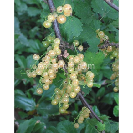 Ribes rubrum 'Witte Hollander ' - White currant