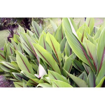 Curcuma zedoaria - White Turmeric