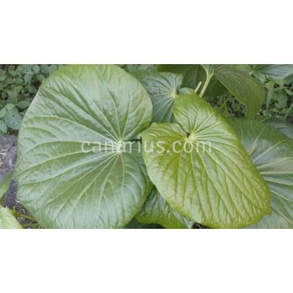 Piper auritum  - Dry Leaves, Hojas Secas - Caisim