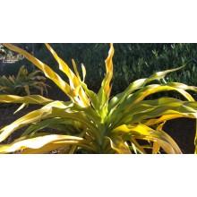 Crinum asiaticum xanthophyllum