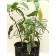 Mangifera indica 'Lancetilla'