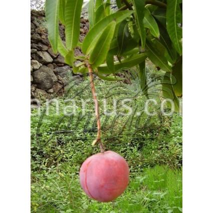 Mangifera indica cv. ' Manzanillo '