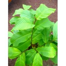 Annona purpurea - Soncoya