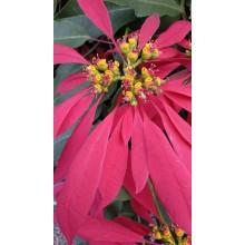 Euphorbia pulcherrima 'Tall Wild Type'