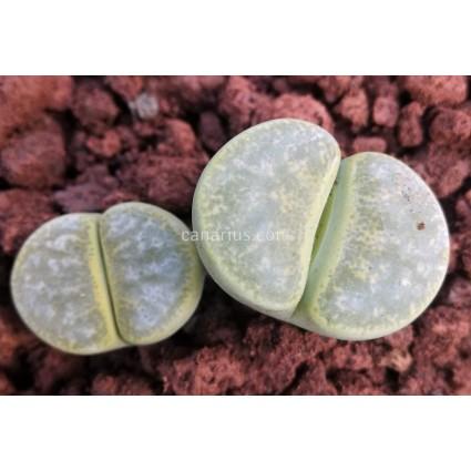 Lithops lesliei f. albinica C036A