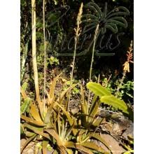 Aloe vera var. chinensis