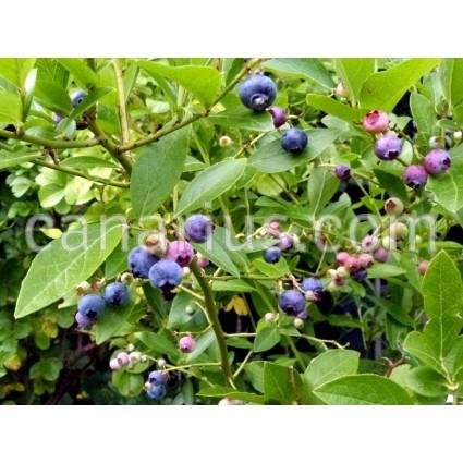 Vaccinium corymbosum 'Emblue' - Blueberry